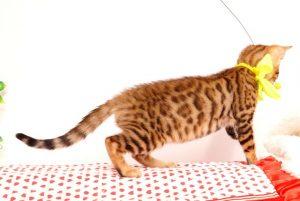 ベンガルの子猫 2019/5/26生 728番イエロー メス6