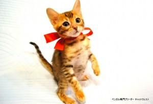 ベンガル子猫44番レッドちゃん6