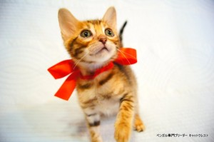 ベンガル子猫44番レッドちゃん4