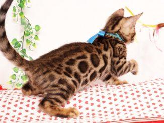 ベンガルの子猫 2019/6/24生 737番ブルー オス6