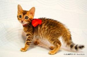 ベンガル子猫44番レッドちゃん2