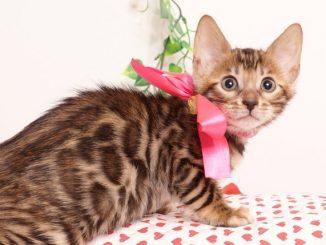 ベンガルの子猫 2019/6/29生 738番ピンク メス1