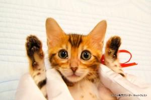 ベンガル子猫44番レッドちゃん1