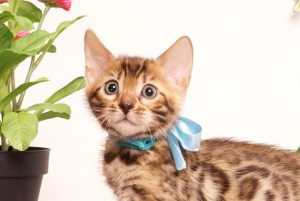 ベンガルの子猫 2019/6/29生 740番アクア オス1