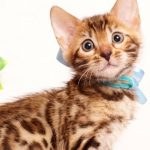 ベンガルの子猫 2019/6/29生 740番アクア オス2