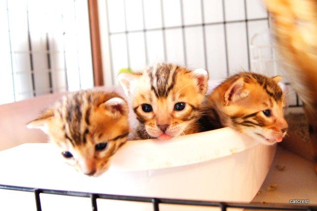 ブリーダーキャットクレストの子猫