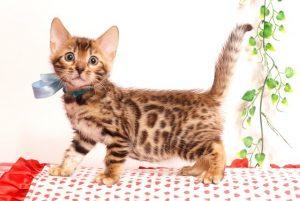 ベンガルの子猫 2019/6/29生 740番アクア オス5