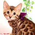 ベンガルの子猫 2019/6/21生 741番パープル メス1