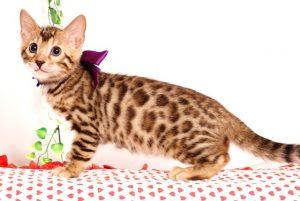 ベンガルの子猫 2019/6/21生 741番パープル メス2