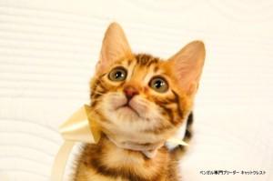 ベンガル子猫45番ホワイトちゃん6