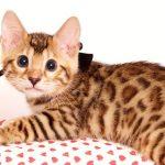 ベンガルの子猫 2019/6/21生 742番ブラック オス4