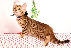 ベンガルの子猫 2019/6/21生 742番ブラック オス5