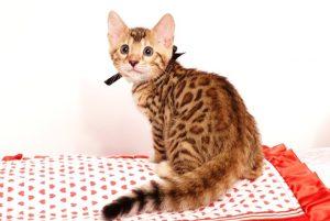 ベンガルの子猫 2019/6/21生 742番ブラック オス6