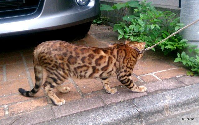 ベンガル 子猫から大人への成長1