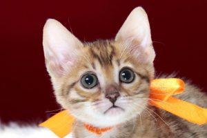 ベンガルの子猫 2016年12月8日生まれ 289番オレンジちゃん