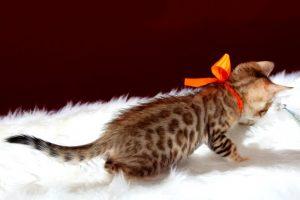 ベンガルの子猫2016年12月8日生まれ 289番オレンジちゃん