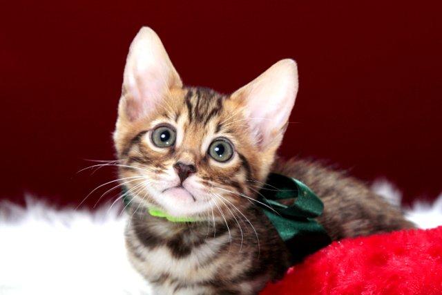 ベンガルの子猫 2016年12月28日生まれ 287番グリーン君
