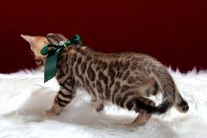 ベンガルの子猫 2016年12月8日生まれ 287番グリーン君
