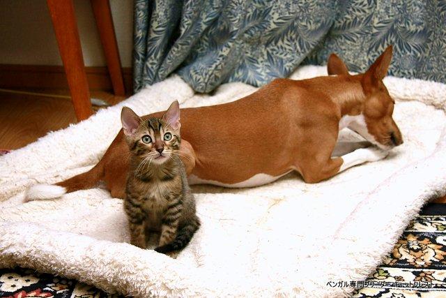 ベンガル猫とバセンジー犬