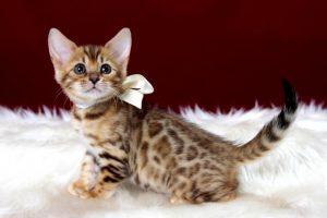 ベンガルの子猫 2016年12月8日生まれ 290番ホワイトちゃん