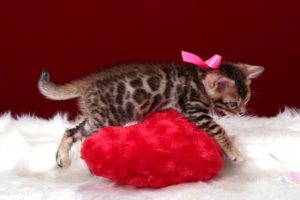 ベンガルの子猫 2016年12月22日生まれ 298番ももちゃん メス
