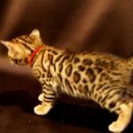 ベンガルの子猫 メス1