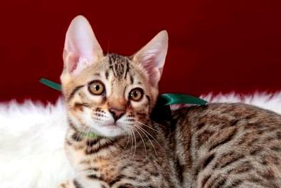 ベンガルの子猫278番みどり君