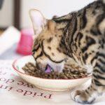 食事をするベンガル猫