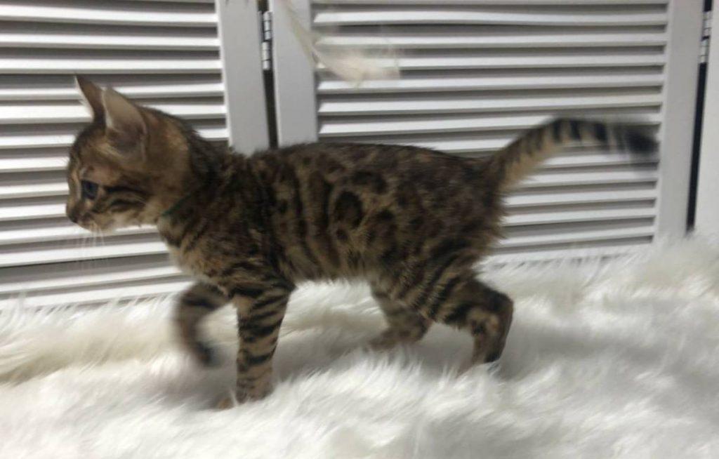 ベンガル子猫の画像