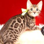 ベンガルの子猫 2019/7/1生 749番イエロー オス31
