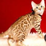 ベンガルの子猫 2019/6/21生 742番ブラック オス21