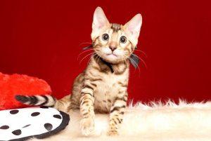 ベンガルの子猫 2019/6/21生 742番ブラック オス22