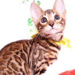 ベンガルの子猫 2019/7/28生 764番イエロー メス1