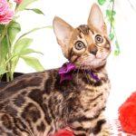 ベンガルの子猫 2019/7/28生 767番パープル メス2