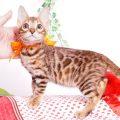 ベンガルの子猫 2019/7/28生 765番オレンジ メス1