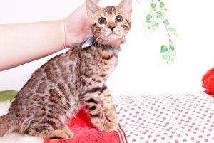 ベンガルの子猫 2019/7/8生 772番アクア オス1