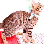 ベンガルの子猫 2019/7/8生 772番アクア オス2