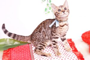 ベンガルの子猫 2019/7/8生 772番アクア オス3
