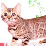 ベンガルの子猫 2019/7/8生 771番ピンク メス4