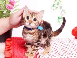 ベンガルの子猫 2019/7/8生 770番ブルー オス1