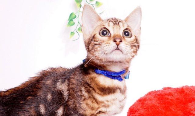 ベンガルの子猫 2019/7/8生 770番ブルー オス2