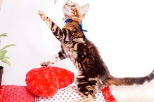 ベンガルの子猫 2019/7/8生 770番ブルー オス4