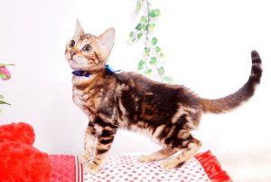 ベンガルの子猫 2019/7/8生 770番ブルー オス5