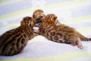 ヒョウ柄の子猫