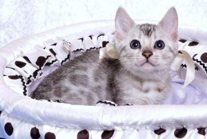 ベンガルの子猫 9/22生まれ 567番ホワイトちゃん1