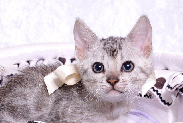 ベンガルの子猫 9/22生まれ 567番ホワイトちゃん2