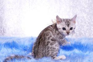 ベンガルの子猫 9/22生まれ 567番ホワイトちゃん6