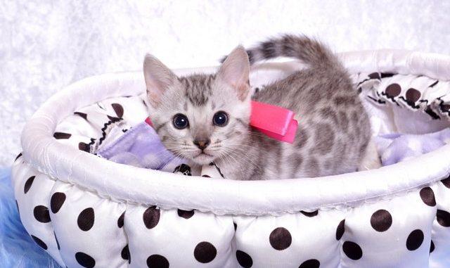 ベンガルの子猫 9/22生まれ 568番ピンクちゃん1