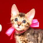ベンガルの子猫 2019/4/3生 676番ピンク メス7
