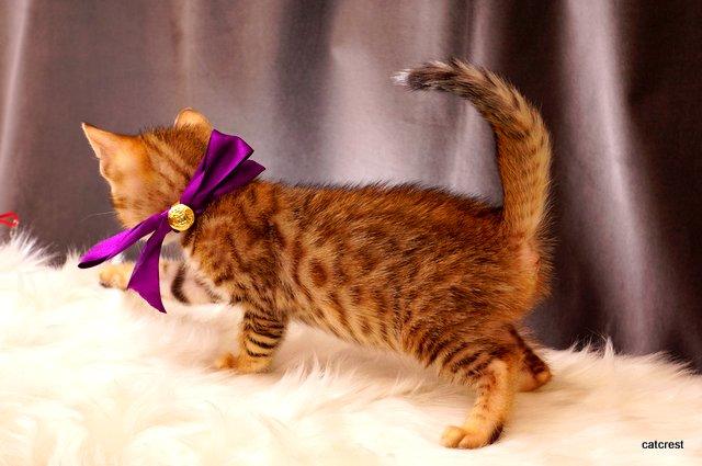 ベンガルの子猫2016年2月19日生まれ 215番ムラサキちゃん